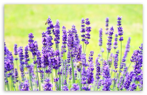 Purple Lavender HD wallpaper for Wide 16:10 5:3 Widescreen WHXGA WQXGA WUXGA WXGA WGA ; HD 16:9 High Definition WQHD QWXGA 1080p 900p 720p QHD nHD ; UHD 16:9 WQHD QWXGA 1080p 900p 720p QHD nHD ; Standard 4:3 5:4 3:2 Fullscreen UXGA XGA SVGA QSXGA SXGA DVGA HVGA HQVGA devices ( Apple PowerBook G4 iPhone 4 3G 3GS iPod Touch ) ; Smartphone 5:3 WGA ; Tablet 1:1 ; iPad 1/2/Mini ; Mobile 4:3 5:3 3:2 16:9 5:4 - UXGA XGA SVGA WGA DVGA HVGA HQVGA devices ( Apple PowerBook G4 iPhone 4 3G 3GS iPod Touch ) WQHD QWXGA 1080p 900p 720p QHD nHD QSXGA SXGA ; Dual 16:10 5:3 16:9 4:3 5:4 WHXGA WQXGA WUXGA WXGA WGA WQHD QWXGA 1080p 900p 720p QHD nHD UXGA XGA SVGA QSXGA SXGA ;