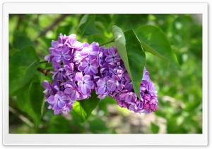 Purple Lilac Flowers HD Wide Wallpaper for Widescreen