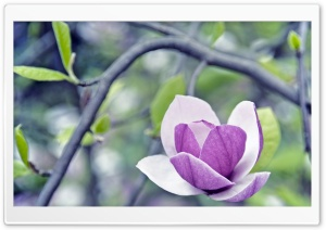 Purple Magnolia HD Wide Wallpaper for Widescreen