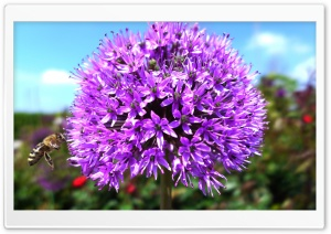 Purple Onion Flower HD Wide Wallpaper for Widescreen