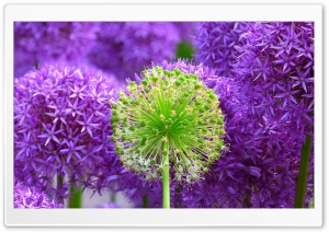 Purple Onion Flowers HD Wide Wallpaper for Widescreen