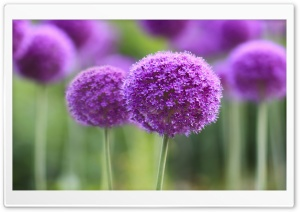 Purple Onion Flowers Field HD Wide Wallpaper for Widescreen