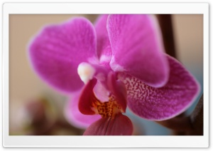 Purple Orchid HD Wide Wallpaper for Widescreen