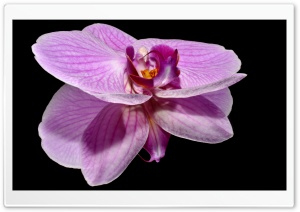 Purple Orchid Flower Reflection HD Wide Wallpaper for Widescreen
