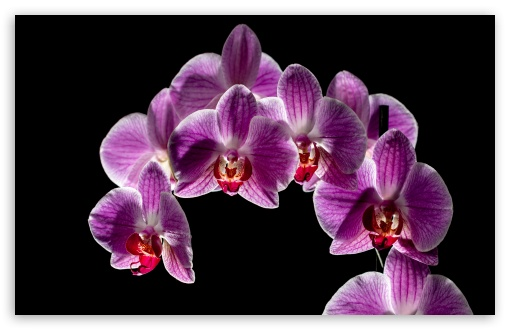 Purple Orchid Flowers Bloom, Black Background UltraHD Wallpaper for Wide 16:10 5:3 Widescreen WHXGA WQXGA WUXGA WXGA WGA ; UltraWide 21:9 24:10 ; 8K UHD TV 16:9 Ultra High Definition 2160p 1440p 1080p 900p 720p ; UHD 16:9 2160p 1440p 1080p 900p 720p ; Standard 4:3 5:4 3:2 Fullscreen UXGA XGA SVGA QSXGA SXGA DVGA HVGA HQVGA ( Apple PowerBook G4 iPhone 4 3G 3GS iPod Touch ) ; Smartphone 16:9 5:3 2160p 1440p 1080p 900p 720p WGA ; Tablet 1:1 ; iPad 1/2/Mini ; Mobile 4:3 5:3 3:2 16:9 5:4 - UXGA XGA SVGA WGA DVGA HVGA HQVGA ( Apple PowerBook G4 iPhone 4 3G 3GS iPod Touch ) 2160p 1440p 1080p 900p 720p QSXGA SXGA ;