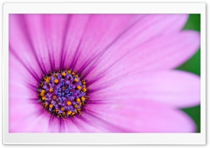 Purple Osteospermum Flower HD Wide Wallpaper for Widescreen