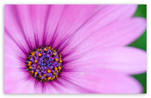 Purple Osteospermum Flower ❤ 4K UHD Wallpaper for Wide 16:10 5:3 Widescreen WHXGA WQXGA WUXGA WXGA WGA ; 4K UHD 16:9 Ultra High Definition 2160p 1440p 1080p 900p 720p ; Standard 4:3 5:4 3:2 Fullscreen UXGA XGA SVGA QSXGA SXGA DVGA HVGA HQVGA ( Apple PowerBook G4 iPhone 4 3G 3GS iPod Touch ) ; iPad 1/2/Mini ; Mobile 4:3 5:3 3:2 16:9 5:4 - UXGA XGA SVGA WGA DVGA HVGA HQVGA ( Apple PowerBook G4 iPhone 4 3G 3GS iPod Touch ) 2160p 1440p 1080p 900p 720p QSXGA SXGA ;