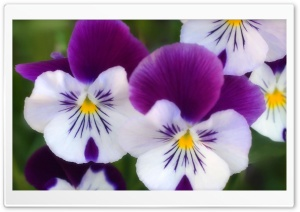 Purple Pansies HD Wide Wallpaper for Widescreen