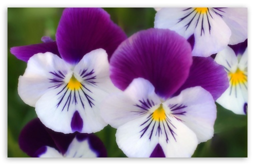 Purple Pansies HD wallpaper for Wide 16:10 Widescreen WHXGA WQXGA WUXGA WXGA ; Standard 4:3 5:4 3:2 Fullscreen UXGA XGA SVGA QSXGA SXGA DVGA HVGA HQVGA devices ( Apple PowerBook G4 iPhone 4 3G 3GS iPod Touch ) ; iPad 1/2/Mini ; Mobile 4:3 3:2 5:4 - UXGA XGA SVGA DVGA HVGA HQVGA devices ( Apple PowerBook G4 iPhone 4 3G 3GS iPod Touch ) QSXGA SXGA ;