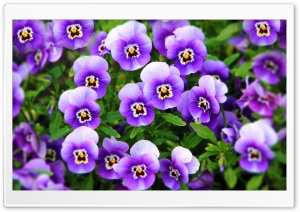 Purple Pansies Ultra HD Wallpaper for 4K UHD Widescreen desktop, tablet & smartphone