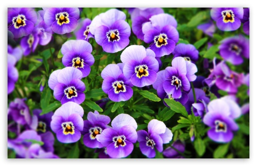 Purple Pansies ❤ 4K UHD Wallpaper for Wide 16:10 5:3 Widescreen WHXGA WQXGA WUXGA WXGA WGA ; 4K UHD 16:9 Ultra High Definition 2160p 1440p 1080p 900p 720p ; UHD 16:9 2160p 1440p 1080p 900p 720p ; Standard 4:3 5:4 3:2 Fullscreen UXGA XGA SVGA QSXGA SXGA DVGA HVGA HQVGA ( Apple PowerBook G4 iPhone 4 3G 3GS iPod Touch ) ; Smartphone 5:3 WGA ; Tablet 1:1 ; iPad 1/2/Mini ; Mobile 4:3 5:3 3:2 16:9 5:4 - UXGA XGA SVGA WGA DVGA HVGA HQVGA ( Apple PowerBook G4 iPhone 4 3G 3GS iPod Touch ) 2160p 1440p 1080p 900p 720p QSXGA SXGA ; Dual 16:10 5:3 16:9 4:3 5:4 WHXGA WQXGA WUXGA WXGA WGA 2160p 1440p 1080p 900p 720p UXGA XGA SVGA QSXGA SXGA ;