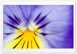 Purple Pansy HD Wide Wallpaper for Widescreen
