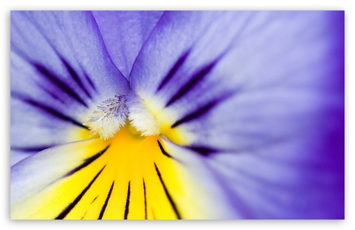 Purple Pansy ❤ 4K UHD Wallpaper for Wide 16:10 5:3 Widescreen WHXGA WQXGA WUXGA WXGA WGA ; 4K UHD 16:9 Ultra High Definition 2160p 1440p 1080p 900p 720p ; Standard 4:3 5:4 3:2 Fullscreen UXGA XGA SVGA QSXGA SXGA DVGA HVGA HQVGA ( Apple PowerBook G4 iPhone 4 3G 3GS iPod Touch ) ; iPad 1/2/Mini ; Mobile 4:3 5:3 3:2 16:9 5:4 - UXGA XGA SVGA WGA DVGA HVGA HQVGA ( Apple PowerBook G4 iPhone 4 3G 3GS iPod Touch ) 2160p 1440p 1080p 900p 720p QSXGA SXGA ;