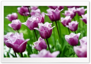 Purple Parrot Tulips HD Wide Wallpaper for Widescreen
