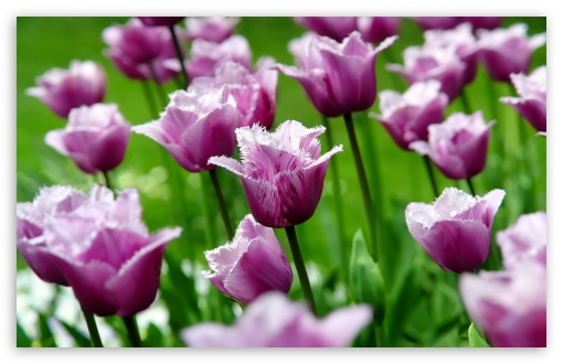 Purple Parrot Tulips ❤ 4K UHD Wallpaper for Wide 16:10 5:3 Widescreen WHXGA WQXGA WUXGA WXGA WGA ; 4K UHD 16:9 Ultra High Definition 2160p 1440p 1080p 900p 720p ; Standard 4:3 5:4 3:2 Fullscreen UXGA XGA SVGA QSXGA SXGA DVGA HVGA HQVGA ( Apple PowerBook G4 iPhone 4 3G 3GS iPod Touch ) ; Tablet 1:1 ; iPad 1/2/Mini ; Mobile 4:3 5:3 3:2 16:9 5:4 - UXGA XGA SVGA WGA DVGA HVGA HQVGA ( Apple PowerBook G4 iPhone 4 3G 3GS iPod Touch ) 2160p 1440p 1080p 900p 720p QSXGA SXGA ;