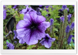 Purple Passion 1 Ultra HD Wallpaper for 4K UHD Widescreen desktop, tablet & smartphone
