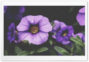 Purple Petunia Flowers HD Wide Wallpaper for Widescreen