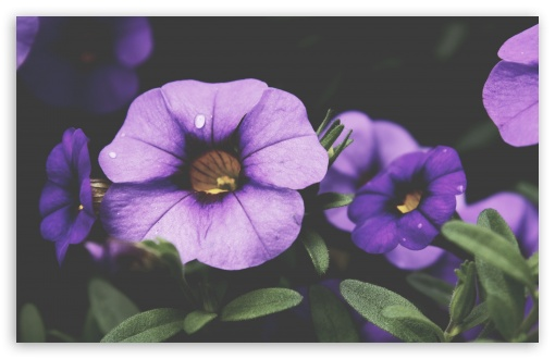 Purple Petunia Flowers ❤ 4K UHD Wallpaper for Wide 16:10 5:3 Widescreen WHXGA WQXGA WUXGA WXGA WGA ; 4K UHD 16:9 Ultra High Definition 2160p 1440p 1080p 900p 720p ; Standard 4:3 5:4 3:2 Fullscreen UXGA XGA SVGA QSXGA SXGA DVGA HVGA HQVGA ( Apple PowerBook G4 iPhone 4 3G 3GS iPod Touch ) ; Smartphone 16:9 3:2 5:3 2160p 1440p 1080p 900p 720p DVGA HVGA HQVGA ( Apple PowerBook G4 iPhone 4 3G 3GS iPod Touch ) WGA ; Tablet 1:1 ; iPad 1/2/Mini ; Mobile 4:3 5:3 3:2 16:9 5:4 - UXGA XGA SVGA WGA DVGA HVGA HQVGA ( Apple PowerBook G4 iPhone 4 3G 3GS iPod Touch ) 2160p 1440p 1080p 900p 720p QSXGA SXGA ;