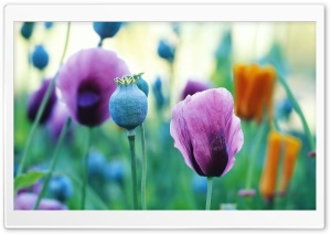 Purple Poppies HD Wide Wallpaper for Widescreen