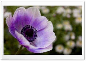Purple Poppy HD Wide Wallpaper for Widescreen