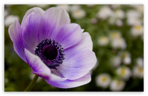 Purple Poppy HD wallpaper for Wide 16:10 5:3 Widescreen WHXGA WQXGA WUXGA WXGA WGA ; HD 16:9 High Definition WQHD QWXGA 1080p 900p 720p QHD nHD ; Standard 4:3 5:4 3:2 Fullscreen UXGA XGA SVGA QSXGA SXGA DVGA HVGA HQVGA devices ( Apple PowerBook G4 iPhone 4 3G 3GS iPod Touch ) ; Tablet 1:1 ; iPad 1/2/Mini ; Mobile 4:3 5:3 3:2 16:9 5:4 - UXGA XGA SVGA WGA DVGA HVGA HQVGA devices ( Apple PowerBook G4 iPhone 4 3G 3GS iPod Touch ) WQHD QWXGA 1080p 900p 720p QHD nHD QSXGA SXGA ;