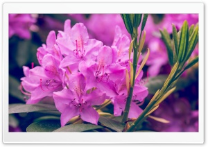 Purple Rhododendron Flower HD Wide Wallpaper for Widescreen