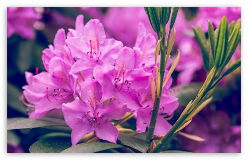 Purple Rhododendron Flower ❤ 4K UHD Wallpaper for Wide 16:10 5:3 Widescreen WHXGA WQXGA WUXGA WXGA WGA ; 4K UHD 16:9 Ultra High Definition 2160p 1440p 1080p 900p 720p ; UHD 16:9 2160p 1440p 1080p 900p 720p ; Standard 4:3 5:4 3:2 Fullscreen UXGA XGA SVGA QSXGA SXGA DVGA HVGA HQVGA ( Apple PowerBook G4 iPhone 4 3G 3GS iPod Touch ) ; Smartphone 5:3 WGA ; Tablet 1:1 ; iPad 1/2/Mini ; Mobile 4:3 5:3 3:2 16:9 5:4 - UXGA XGA SVGA WGA DVGA HVGA HQVGA ( Apple PowerBook G4 iPhone 4 3G 3GS iPod Touch ) 2160p 1440p 1080p 900p 720p QSXGA SXGA ;