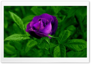 Purple Rose HD Wide Wallpaper for Widescreen