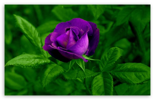 Purple Rose ❤ 4K UHD Wallpaper for Wide 16:10 5:3 Widescreen WHXGA WQXGA WUXGA WXGA WGA ; 4K UHD 16:9 Ultra High Definition 2160p 1440p 1080p 900p 720p ; Standard 4:3 5:4 3:2 Fullscreen UXGA XGA SVGA QSXGA SXGA DVGA HVGA HQVGA ( Apple PowerBook G4 iPhone 4 3G 3GS iPod Touch ) ; Smartphone 5:3 WGA ; Tablet 1:1 ; iPad 1/2/Mini ; Mobile 4:3 5:3 3:2 16:9 5:4 - UXGA XGA SVGA WGA DVGA HVGA HQVGA ( Apple PowerBook G4 iPhone 4 3G 3GS iPod Touch ) 2160p 1440p 1080p 900p 720p QSXGA SXGA ; Dual 16:10 5:3 4:3 5:4 WHXGA WQXGA WUXGA WXGA WGA UXGA XGA SVGA QSXGA SXGA ;
