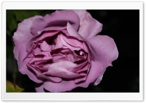 Purple Rose Just Like Silk HD Wide Wallpaper for Widescreen