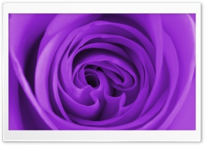 Purple Rose Macro HD Wide Wallpaper for Widescreen