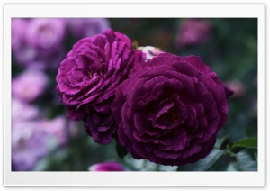 Purple Roses HD Wide Wallpaper for 4K UHD Widescreen desktop & smartphone