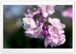 Purple Spring Flowers Macro HD Wide Wallpaper for Widescreen