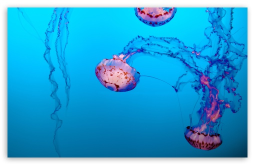 purple striped jelly jellyfish underwater wallpapers