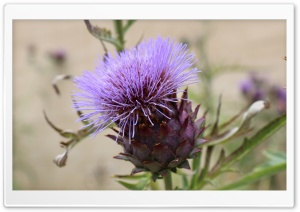 Purple Thistle Flower HD Wide Wallpaper for Widescreen