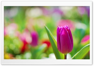 Purple Tulip HD Wide Wallpaper for Widescreen