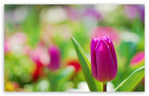 Purple Tulip ❤ 4K UHD Wallpaper for Wide 16:10 5:3 Widescreen WHXGA WQXGA WUXGA WXGA WGA ; 4K UHD 16:9 Ultra High Definition 2160p 1440p 1080p 900p 720p ; UHD 16:9 2160p 1440p 1080p 900p 720p ; Standard 4:3 5:4 3:2 Fullscreen UXGA XGA SVGA QSXGA SXGA DVGA HVGA HQVGA ( Apple PowerBook G4 iPhone 4 3G 3GS iPod Touch ) ; Tablet 1:1 ; iPad 1/2/Mini ; Mobile 4:3 5:3 3:2 16:9 5:4 - UXGA XGA SVGA WGA DVGA HVGA HQVGA ( Apple PowerBook G4 iPhone 4 3G 3GS iPod Touch ) 2160p 1440p 1080p 900p 720p QSXGA SXGA ; Dual 5:4 QSXGA SXGA ;