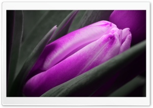 Purple Tulip HD Wide Wallpaper for 4K UHD Widescreen desktop & smartphone
