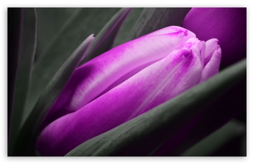 Purple Tulip ❤ 4K UHD Wallpaper for Wide 16:10 5:3 Widescreen WHXGA WQXGA WUXGA WXGA WGA ; 4K UHD 16:9 Ultra High Definition 2160p 1440p 1080p 900p 720p ; UHD 16:9 2160p 1440p 1080p 900p 720p ; Standard 4:3 5:4 3:2 Fullscreen UXGA XGA SVGA QSXGA SXGA DVGA HVGA HQVGA ( Apple PowerBook G4 iPhone 4 3G 3GS iPod Touch ) ; Smartphone 5:3 WGA ; Tablet 1:1 ; iPad 1/2/Mini ; Mobile 4:3 5:3 3:2 16:9 5:4 - UXGA XGA SVGA WGA DVGA HVGA HQVGA ( Apple PowerBook G4 iPhone 4 3G 3GS iPod Touch ) 2160p 1440p 1080p 900p 720p QSXGA SXGA ; Dual 16:10 5:3 16:9 4:3 5:4 WHXGA WQXGA WUXGA WXGA WGA 2160p 1440p 1080p 900p 720p UXGA XGA SVGA QSXGA SXGA ;