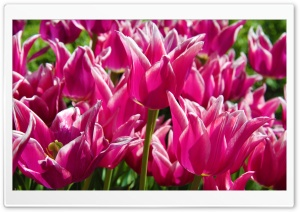 Purple Tulips HD Wide Wallpaper for Widescreen