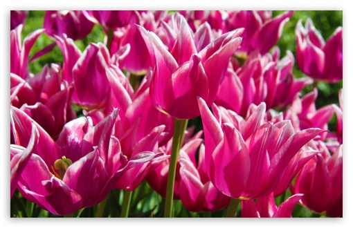 Purple Tulips HD wallpaper for Wide 16:10 5:3 Widescreen WHXGA WQXGA WUXGA WXGA WGA ; HD 16:9 High Definition WQHD QWXGA 1080p 900p 720p QHD nHD ; UHD 16:9 WQHD QWXGA 1080p 900p 720p QHD nHD ; Standard 4:3 5:4 3:2 Fullscreen UXGA XGA SVGA QSXGA SXGA DVGA HVGA HQVGA devices ( Apple PowerBook G4 iPhone 4 3G 3GS iPod Touch ) ; Smartphone 5:3 WGA ; Tablet 1:1 ; iPad 1/2/Mini ; Mobile 4:3 5:3 3:2 16:9 5:4 - UXGA XGA SVGA WGA DVGA HVGA HQVGA devices ( Apple PowerBook G4 iPhone 4 3G 3GS iPod Touch ) WQHD QWXGA 1080p 900p 720p QHD nHD QSXGA SXGA ; Dual 16:10 5:3 16:9 4:3 5:4 WHXGA WQXGA WUXGA WXGA WGA WQHD QWXGA 1080p 900p 720p QHD nHD UXGA XGA SVGA QSXGA SXGA ;