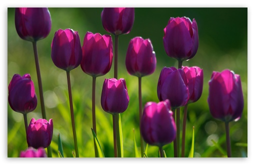 Purple Tulips ❤ 4K UHD Wallpaper for Wide 16:10 5:3 Widescreen WHXGA WQXGA WUXGA WXGA WGA ; 4K UHD 16:9 Ultra High Definition 2160p 1440p 1080p 900p 720p ; Standard 4:3 5:4 3:2 Fullscreen UXGA XGA SVGA QSXGA SXGA DVGA HVGA HQVGA ( Apple PowerBook G4 iPhone 4 3G 3GS iPod Touch ) ; Tablet 1:1 ; iPad 1/2/Mini ; Mobile 4:3 5:3 3:2 16:9 5:4 - UXGA XGA SVGA WGA DVGA HVGA HQVGA ( Apple PowerBook G4 iPhone 4 3G 3GS iPod Touch ) 2160p 1440p 1080p 900p 720p QSXGA SXGA ;