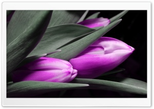 Purple Tulips Ultra HD Wallpaper for 4K UHD Widescreen desktop, tablet & smartphone