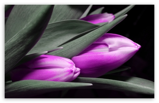 Purple Tulips ❤ 4K UHD Wallpaper for Wide 16:10 5:3 Widescreen WHXGA WQXGA WUXGA WXGA WGA ; 4K UHD 16:9 Ultra High Definition 2160p 1440p 1080p 900p 720p ; UHD 16:9 2160p 1440p 1080p 900p 720p ; Standard 4:3 5:4 3:2 Fullscreen UXGA XGA SVGA QSXGA SXGA DVGA HVGA HQVGA ( Apple PowerBook G4 iPhone 4 3G 3GS iPod Touch ) ; Smartphone 5:3 WGA ; Tablet 1:1 ; iPad 1/2/Mini ; Mobile 4:3 5:3 3:2 16:9 5:4 - UXGA XGA SVGA WGA DVGA HVGA HQVGA ( Apple PowerBook G4 iPhone 4 3G 3GS iPod Touch ) 2160p 1440p 1080p 900p 720p QSXGA SXGA ; Dual 5:4 QSXGA SXGA ;