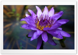 Purple Water Lily HD Wide Wallpaper for Widescreen