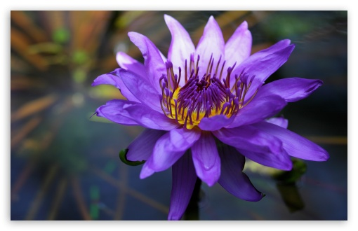 Purple Water Lily HD wallpaper for Wide 16:10 5:3 Widescreen WHXGA WQXGA WUXGA WXGA WGA ; HD 16:9 High Definition WQHD QWXGA 1080p 900p 720p QHD nHD ; UHD 16:9 WQHD QWXGA 1080p 900p 720p QHD nHD ; Standard 4:3 5:4 3:2 Fullscreen UXGA XGA SVGA QSXGA SXGA DVGA HVGA HQVGA devices ( Apple PowerBook G4 iPhone 4 3G 3GS iPod Touch ) ; Tablet 1:1 ; iPad 1/2/Mini ; Mobile 4:3 5:3 3:2 16:9 5:4 - UXGA XGA SVGA WGA DVGA HVGA HQVGA devices ( Apple PowerBook G4 iPhone 4 3G 3GS iPod Touch ) WQHD QWXGA 1080p 900p 720p QHD nHD QSXGA SXGA ;