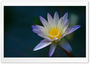 Purple Water Lily from Above HD Wide Wallpaper for Widescreen