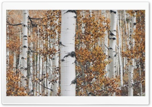 Quaking Aspen Trees Leaves, Forest, Fall HD Wide Wallpaper for 4K UHD Widescreen desktop & smartphone