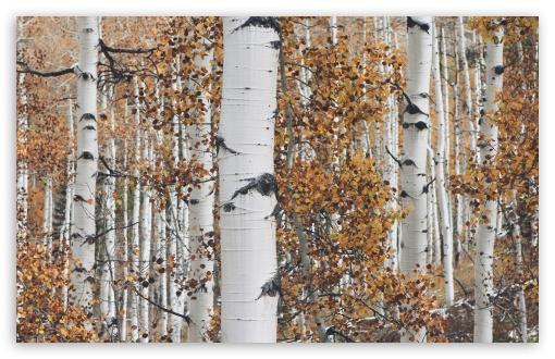 Quaking Aspen Trees Leaves, Forest, Fall UltraHD Wallpaper for Wide 16:10 5:3 Widescreen WHXGA WQXGA WUXGA WXGA WGA ; UltraWide 21:9 24:10 ; 8K UHD TV 16:9 Ultra High Definition 2160p 1440p 1080p 900p 720p ; UHD 16:9 2160p 1440p 1080p 900p 720p ; Standard 4:3 5:4 3:2 Fullscreen UXGA XGA SVGA QSXGA SXGA DVGA HVGA HQVGA ( Apple PowerBook G4 iPhone 4 3G 3GS iPod Touch ) ; Smartphone 16:9 3:2 5:3 2160p 1440p 1080p 900p 720p DVGA HVGA HQVGA ( Apple PowerBook G4 iPhone 4 3G 3GS iPod Touch ) WGA ; Tablet 1:1 ; iPad 1/2/Mini ; Mobile 4:3 5:3 3:2 16:9 5:4 - UXGA XGA SVGA WGA DVGA HVGA HQVGA ( Apple PowerBook G4 iPhone 4 3G 3GS iPod Touch ) 2160p 1440p 1080p 900p 720p QSXGA SXGA ; Dual 16:10 5:3 16:9 4:3 5:4 3:2 WHXGA WQXGA WUXGA WXGA WGA 2160p 1440p 1080p 900p 720p UXGA XGA SVGA QSXGA SXGA DVGA HVGA HQVGA ( Apple PowerBook G4 iPhone 4 3G 3GS iPod Touch ) ; Triple 16:10 5:3 16:9 4:3 5:4 3:2 WHXGA WQXGA WUXGA WXGA WGA 2160p 1440p 1080p 900p 720p UXGA XGA SVGA QSXGA SXGA DVGA HVGA HQVGA ( Apple PowerBook G4 iPhone 4 3G 3GS iPod Touch ) ;