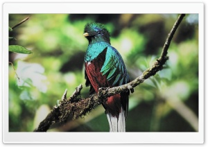 Quetzal Bird HD Wide Wallpaper for Widescreen